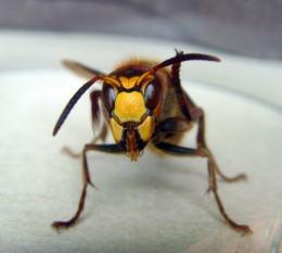 Wespenstich-gefährlich