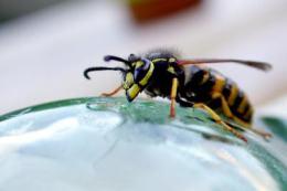 Wespe-Biene